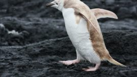 Albino-like penguin found in Antarctica...