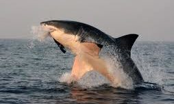 Great White Sharks  ...