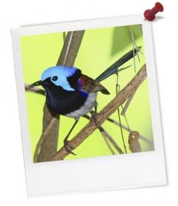 fairy-wren-biodiversity-hero