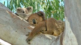Rising temperatures pose risk for koalas...