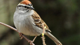 Humble sparrow gives clues about climate chan...