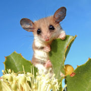 The Pygmy Possum that Pollinates Pl...
