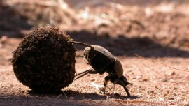 Five things dung beetles do with a piece of p...