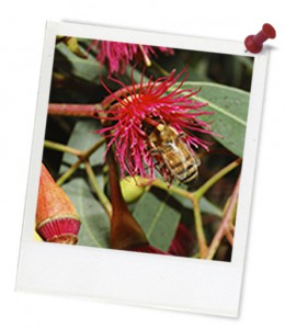 Bee on red eucalypt hero frame