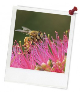 Bee on pink eucalypt hero frame