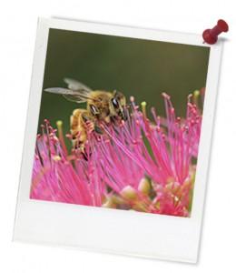 Bee on pink eucalypt hero frame