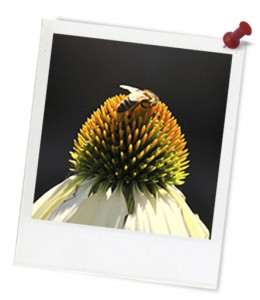 Bee on Echinacea hero frame