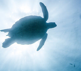 Blue: Ocean Guardians Being Turtle-Friendly – Social Action – Year F, 1 & 2