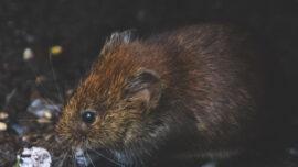 Eat your heart out: native water rats have wo...