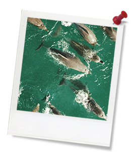 a dolphin pod swimming