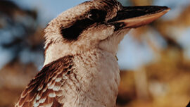 Most native bird species are losing their hom...